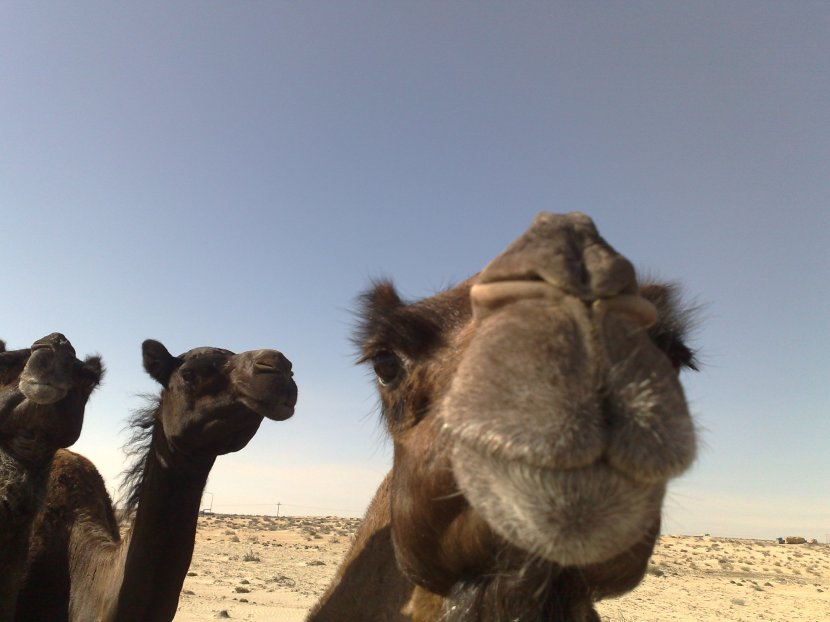 Camel Ranch Visit in Jubail